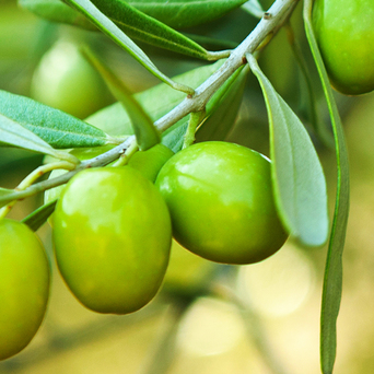 COMMUNITY TRADE OLIVE